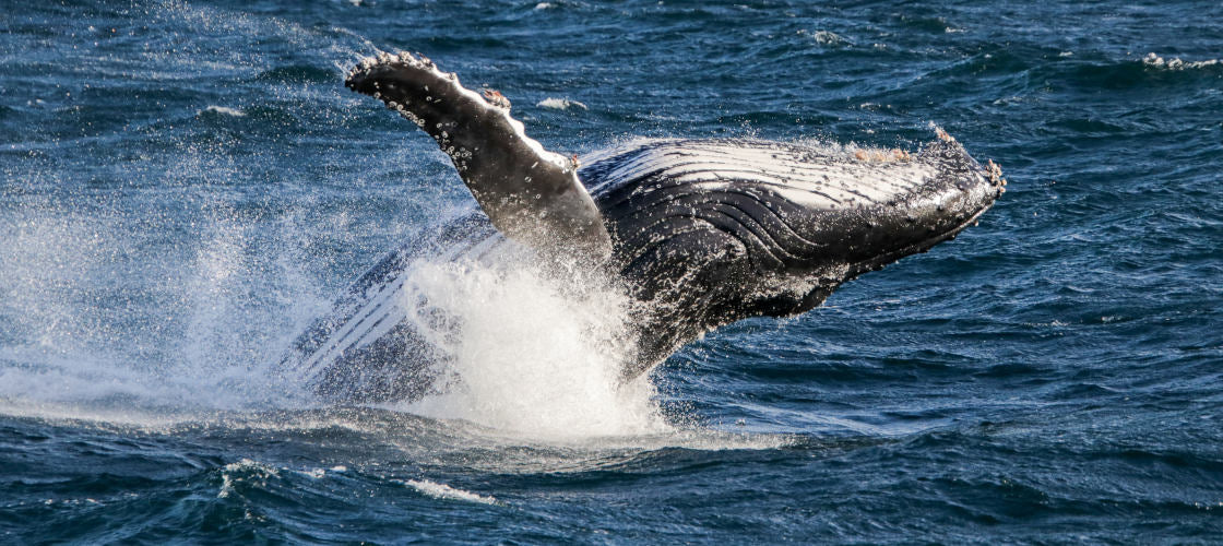 whale watching from brisbane