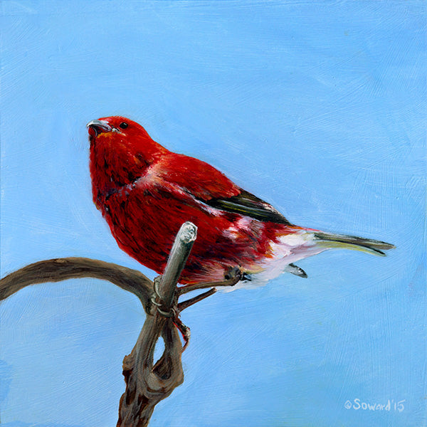 The Attentive Apapane, copyright Sarah Soward, painting of Hawaiian apapane bird