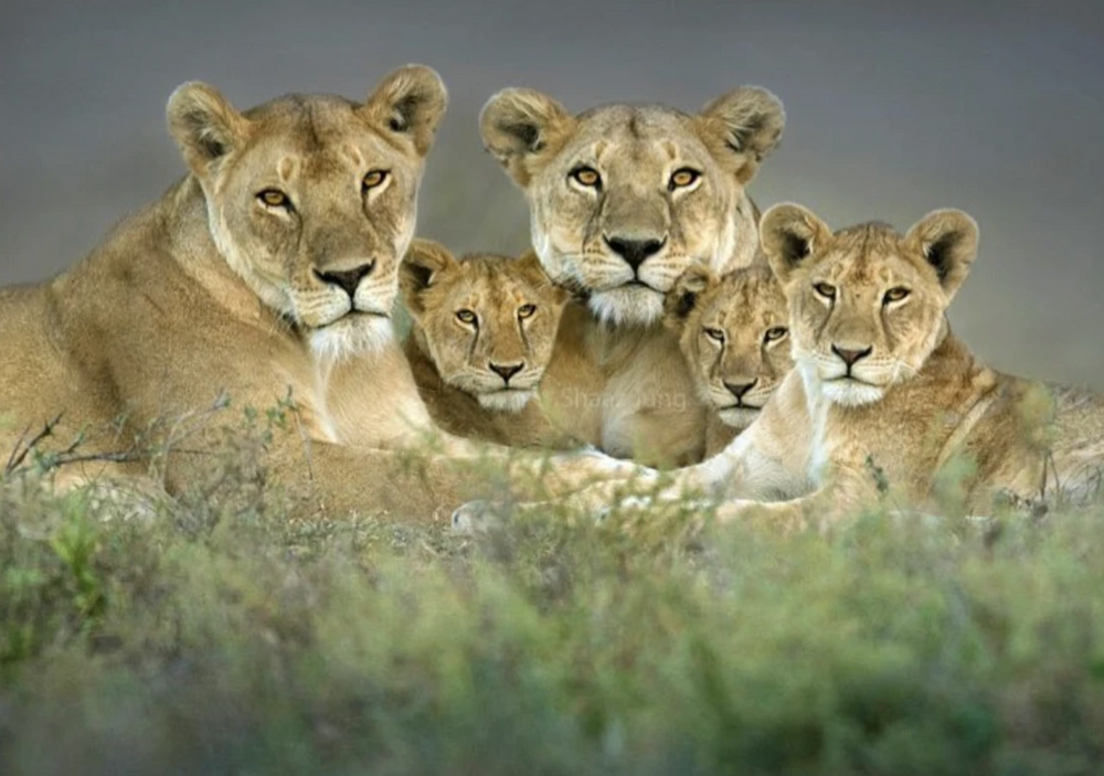WHO WILL PROTECT LIONS FROM HUMANS?