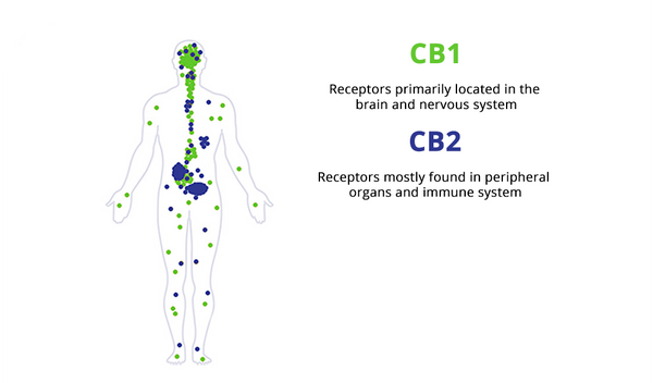 CBD's and THC's effects on ECS