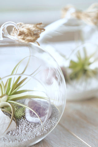 Air Plant Gem Trio DIY Kit
