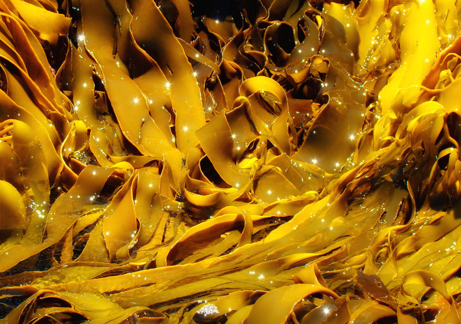 Kelp (Rockweed) Powder - Organic Algae & Seaweeds Z Natural Foods