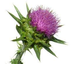 Milk Thistle Seed Extract Powder Herb & Root Powders Z Natural Foods
