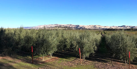Olive Trees, CV Ranches