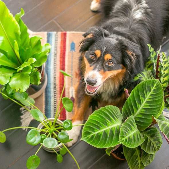Pet Friendly Plants IvyMay San Diego