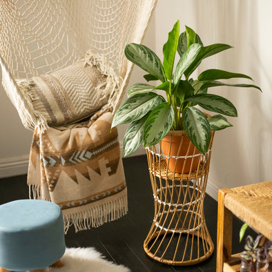 Chinese Evergreen - Aglaonema Silver Bay