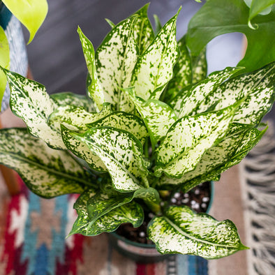 "6"" Snow White Aglaonema"