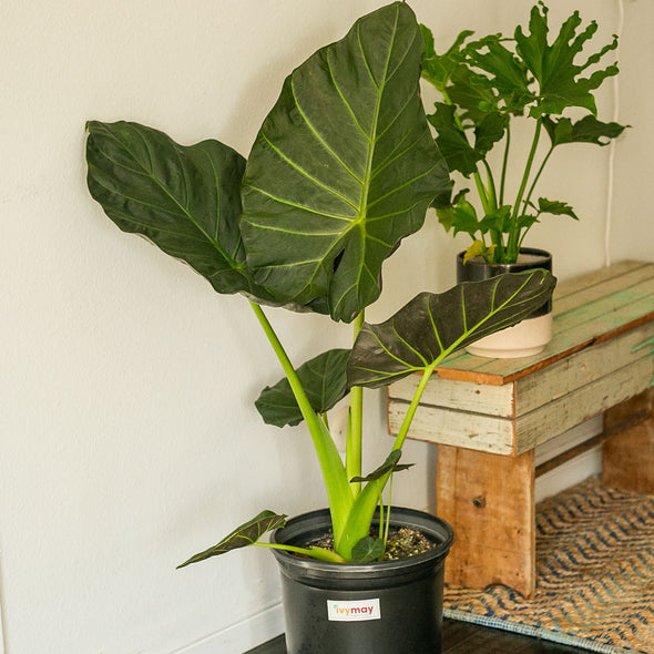 Alocasia Regal Shields