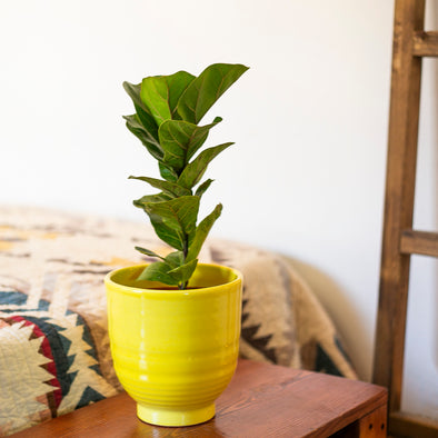 "6"" Ficus Lyrata -  Fiddle Leaf Fig Bambino"