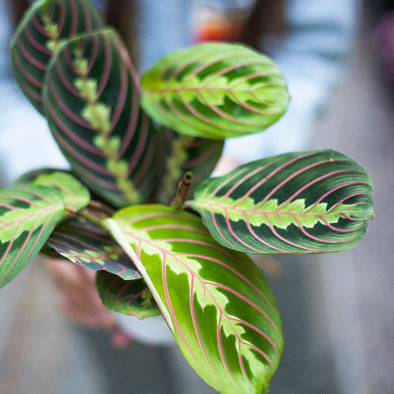 "4"" Red Maranta - Prayer Plant"