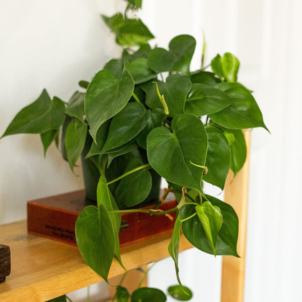 "6"" Heart-Leaf Philodendron - Philodendron Cordatum"