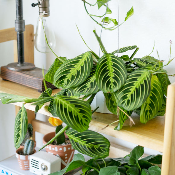 "6"" Lemon Lime Maranta - Prayer Plant"