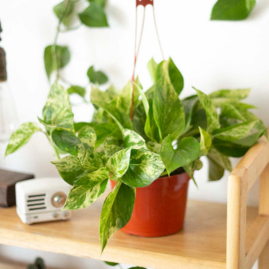 "6"" Marble Queen Pothos (Small)"