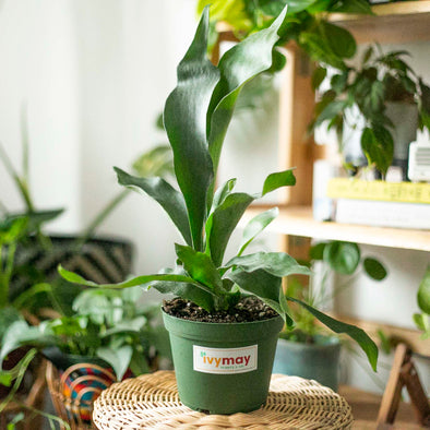 "6"" Staghorn Fern"