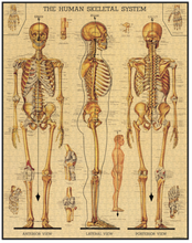 Load image into Gallery viewer, Skeletal System Puzzle