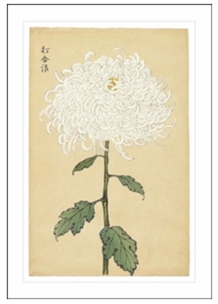 White Chrysanthemum Card