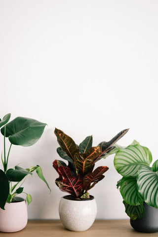 3 plants in a row - Monstera, Croton, Calathea Orbifolia
