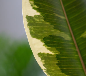 Ficus Elastica Tineke 'Variegated Rubber Plant' (50cm) - earth and vine