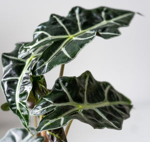 Elephant Ear ( Alocasia 'Polly' Amazonica) (28cm) - earth and vine