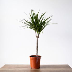Madagascar Dragon Tree (dracaena marginata) (large)