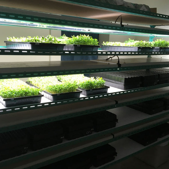 1020 Tray for microgreens
