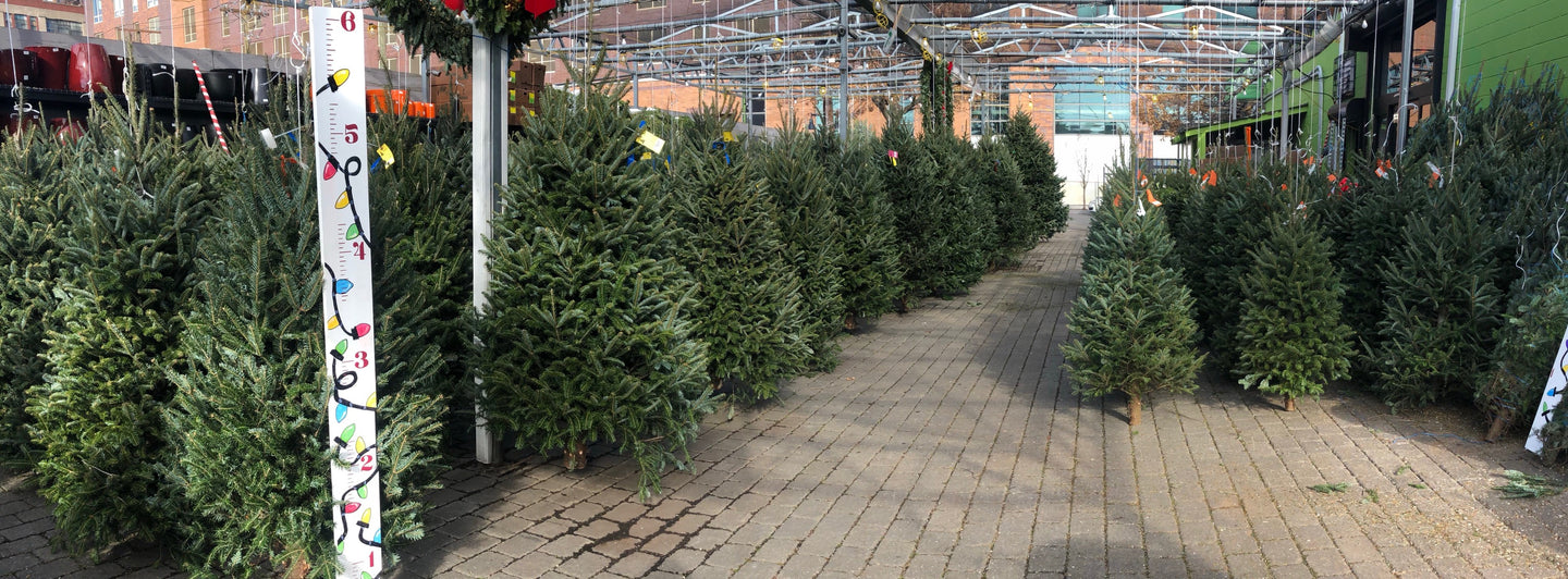 Fresh Christmas trees  sported by height