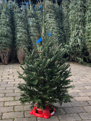Fraser Fir PREMIUM NORTH CAROLINA Christmas Tree  3'+ STAND