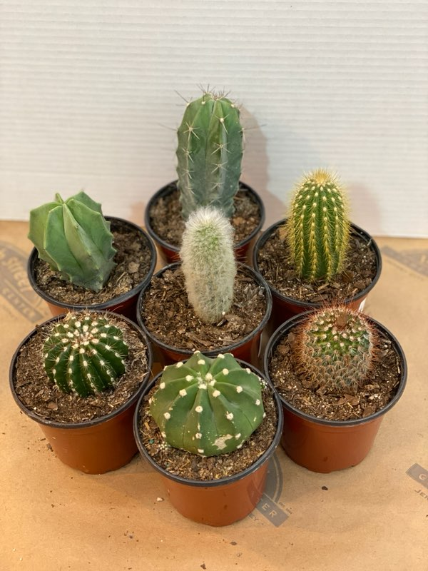 ASSORTED CACTUS 4 INCH