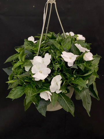 HANGING BASKET 11 INCH IMPATIENS NEW GUINEA MAGNUM CLEAR WHITE