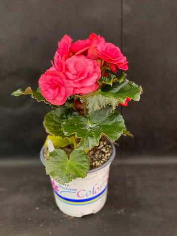 BEGONIA RIEGER DRAGONE DUSTY ROSE 5 INCH PREMIUM