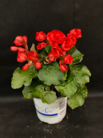 BEGONIA RIEGER VERONICA RED 5 INCH PREMIUM