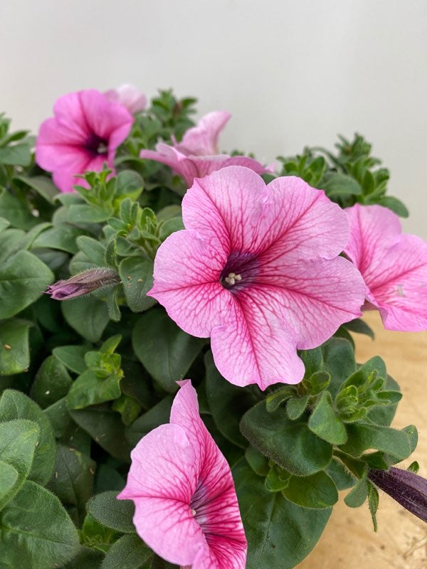 PETUNIA SURFINIA DURABLOOM ROYAL PINK 8 INCH POT PRM