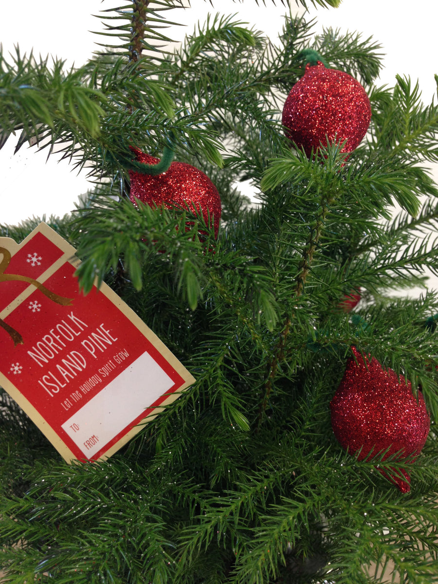Living Christmas Tree: Norfolk Pine - 14th Street Garden Center - 2