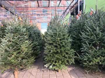 FRASER FIR PREMIUM NORTH CAROLINA CHRISTMAS TREE 6'-7'