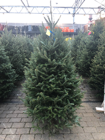 Fraser Fir PREMIUM NORTH CAROLINA Christmas Tree 5'-6'