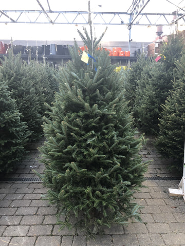 Fraser Fir PREMIUM NORTH CAROLINA Christmas Tree  4FT -5FT