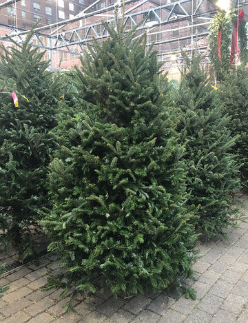 FRASER FIR PREMIUM NORTH CAROLINA CHRISTMAS TREE 7'-8'