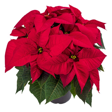 POINSETTIA 8.5 INCH RED
