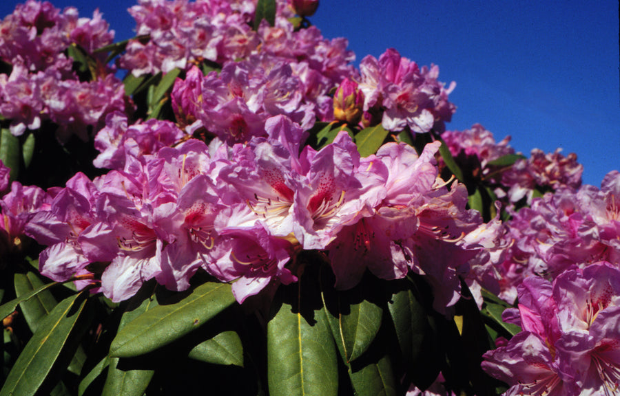 RHODODENDRON MARCH MADNESS