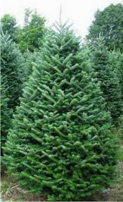 Fraser Fir Christmas Tree 8FT -9FT $129.99-149.99 - 14th Street Garden Center
