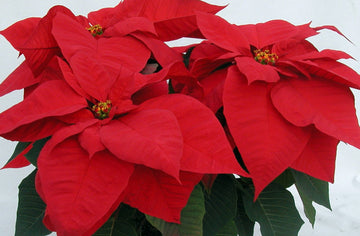 POINSETTIA 7.5 INCH RED