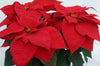 Poinsettias - 14th Street Garden Center - 3