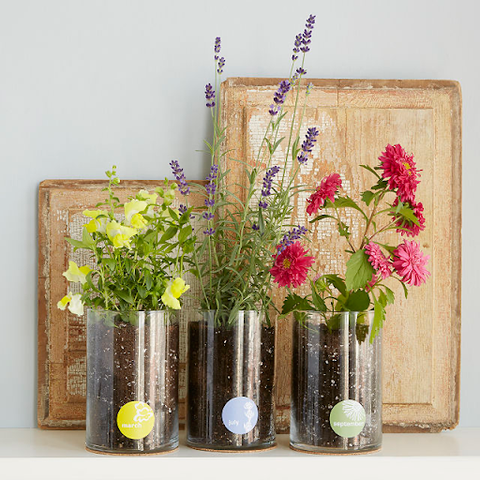 three flower plants, yellow, purple and pink, in a row in containers
