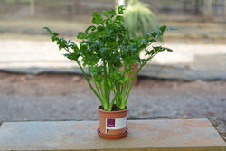 Celery Potted Plant