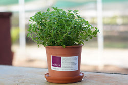 Oregano Potted Plant