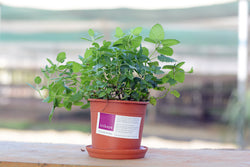 Assorted Mint Potted Plant
