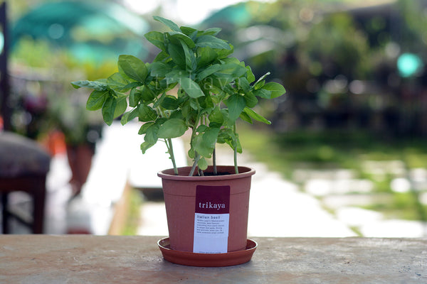 Basil Italian Potted Plant