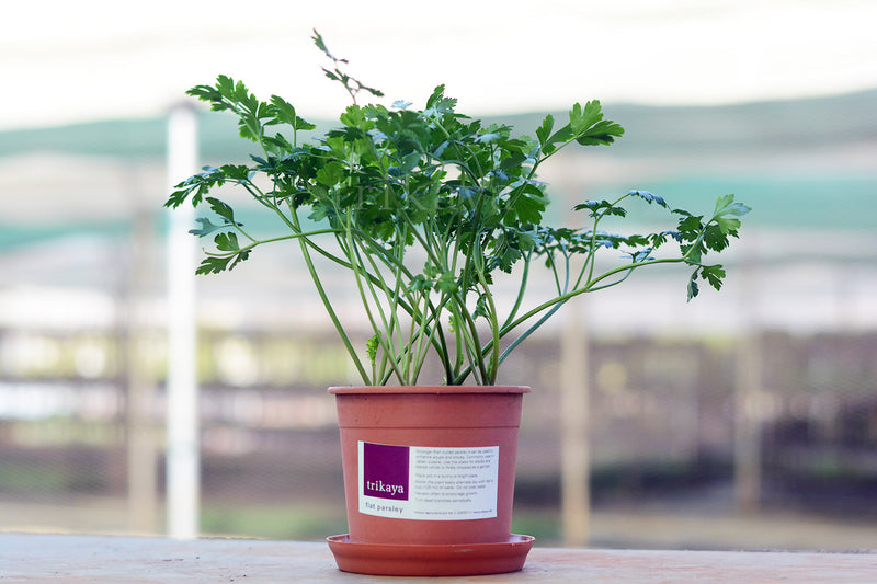 Parsley Flat Potted Plant