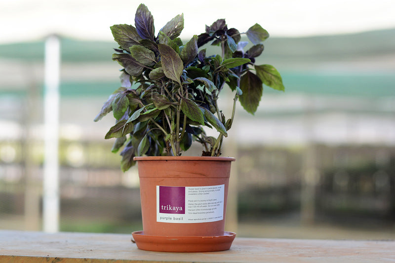 Purple Basil Potted Plant