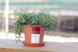 Rosemary Potted Plant